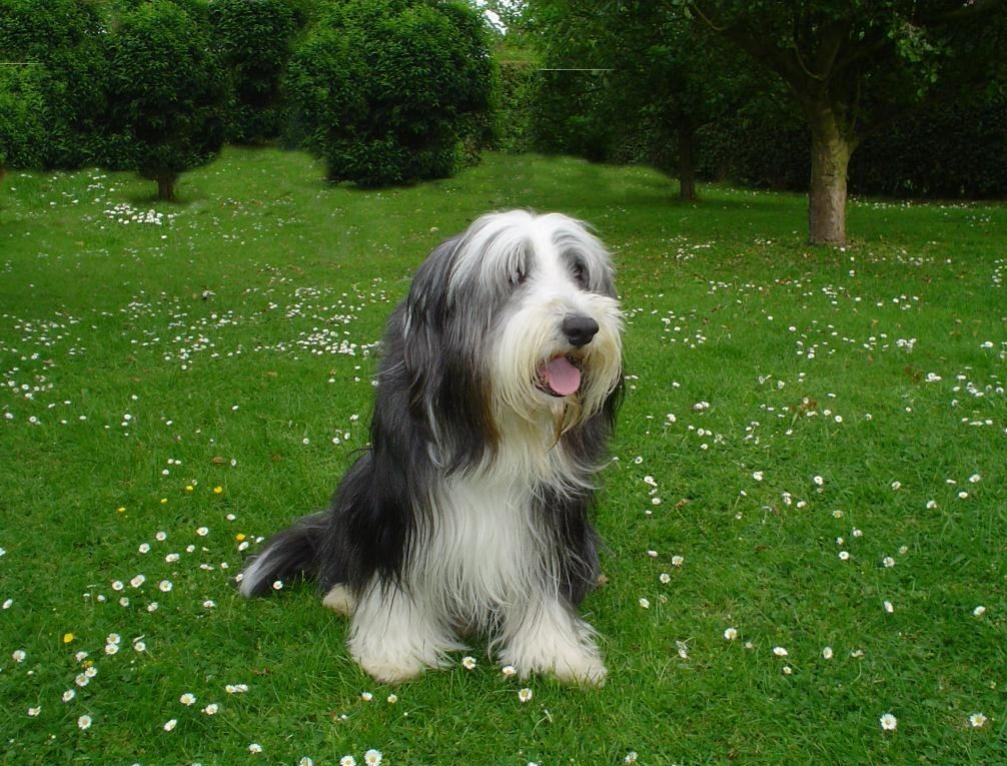 Rescue Dogs Bearded Collie