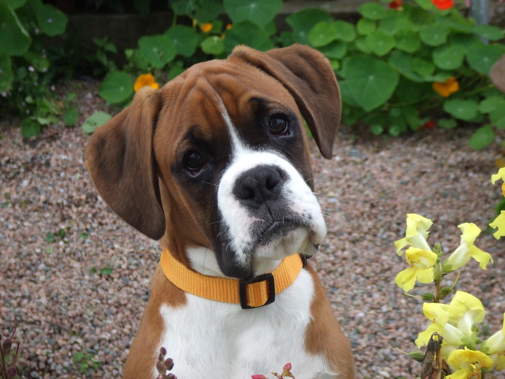 boxer   puppies rescue pictures information
