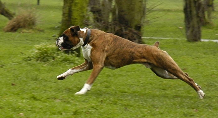 Are Boxers Good Dogs To Run With