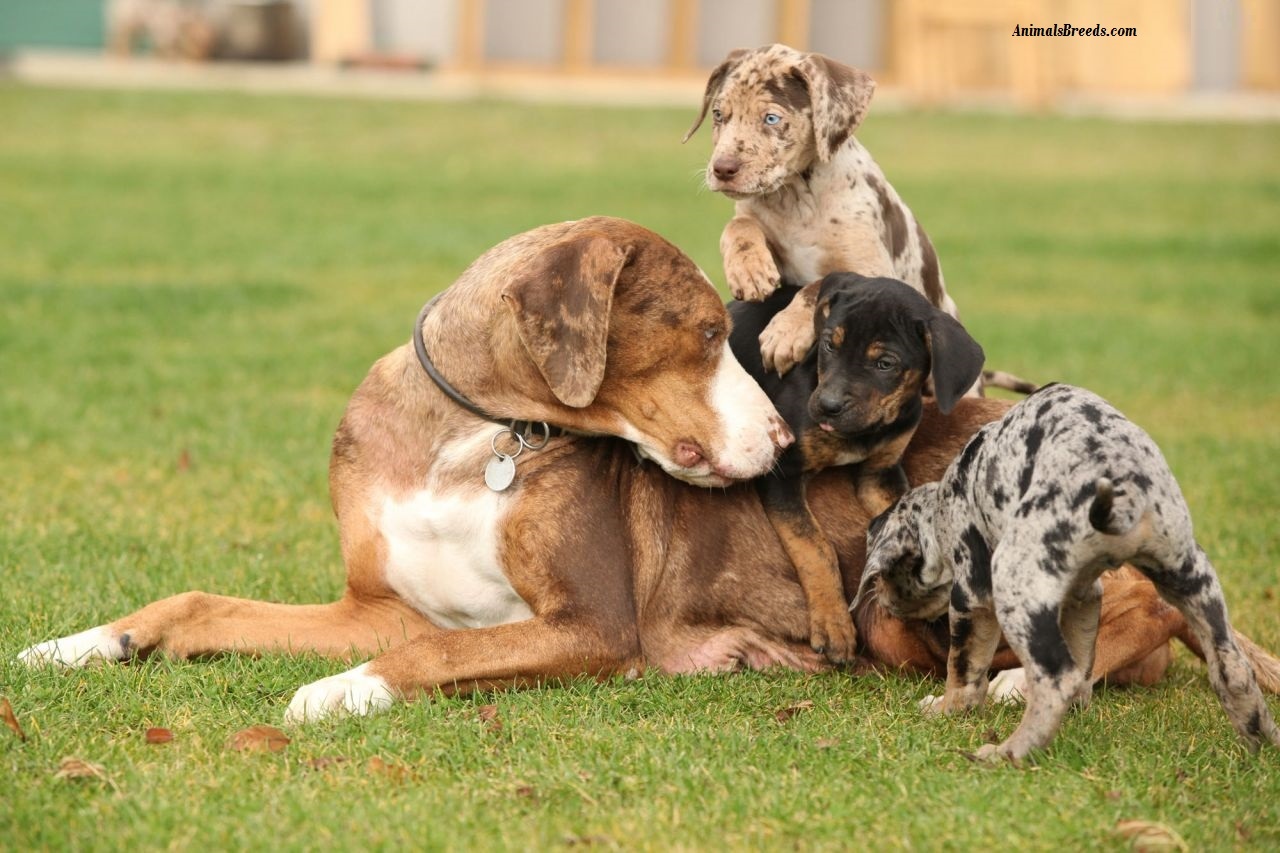 Catahoula Leopard Dog Puppies For Sale In Florida