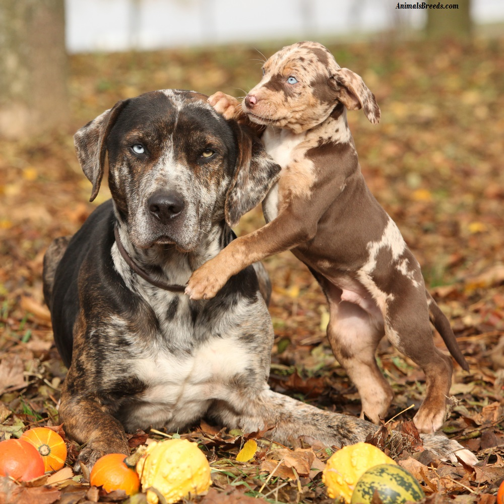 Catahoula Leopard Dog - Puppies, Rescue, Pictures, Information ...