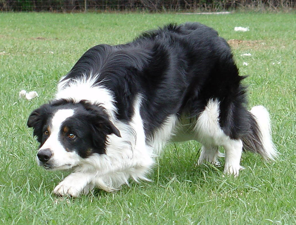Black And White Sheep Dogs For Sale