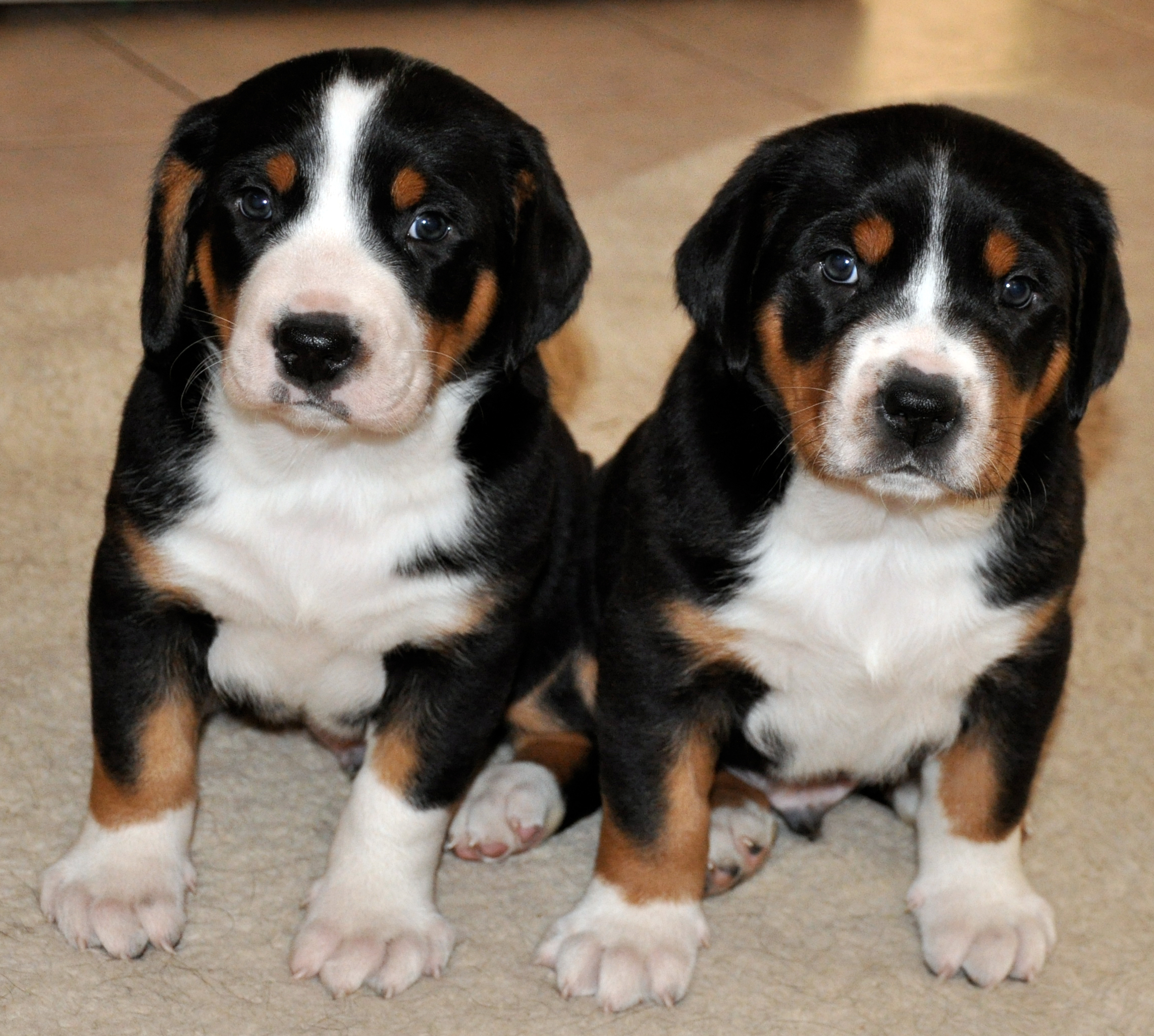 Swiss Mountain Dog Puppy Rescue