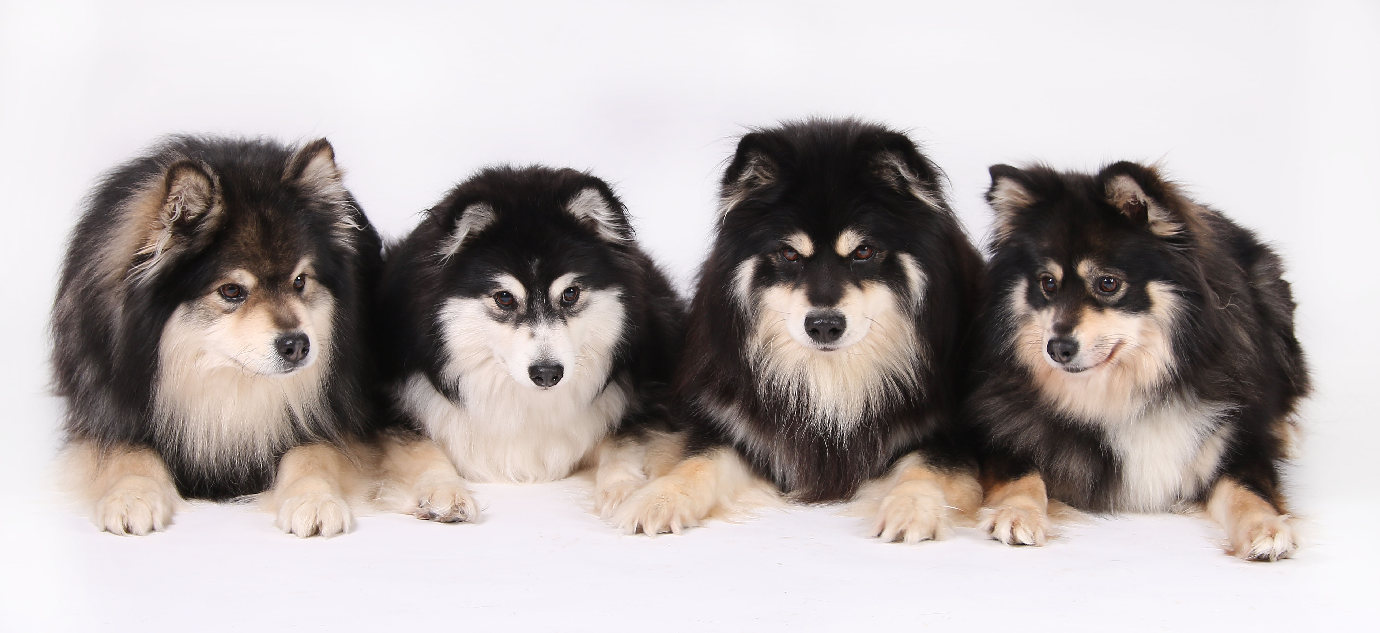 breed puppies finnish lapphund dog breed puppies dog breeds picture