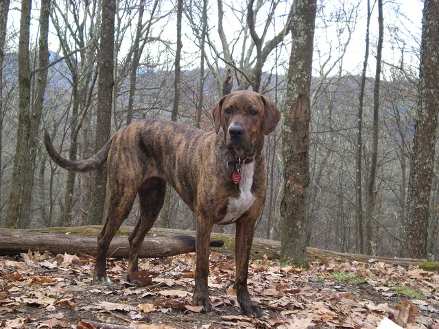 Plott Facts | Dog Breeds Picture