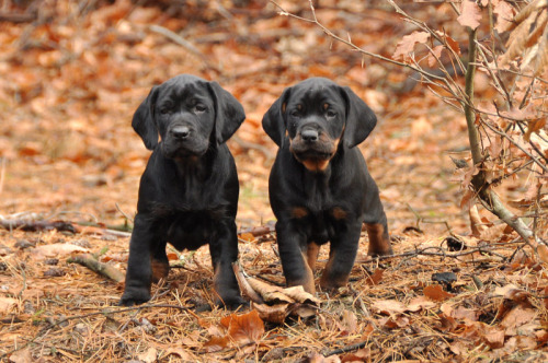 Polish Hunting Dog Puppies Rescue Pictures