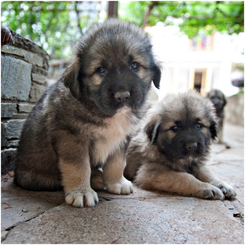 Sarplaninac Dog Puppies For Sale
