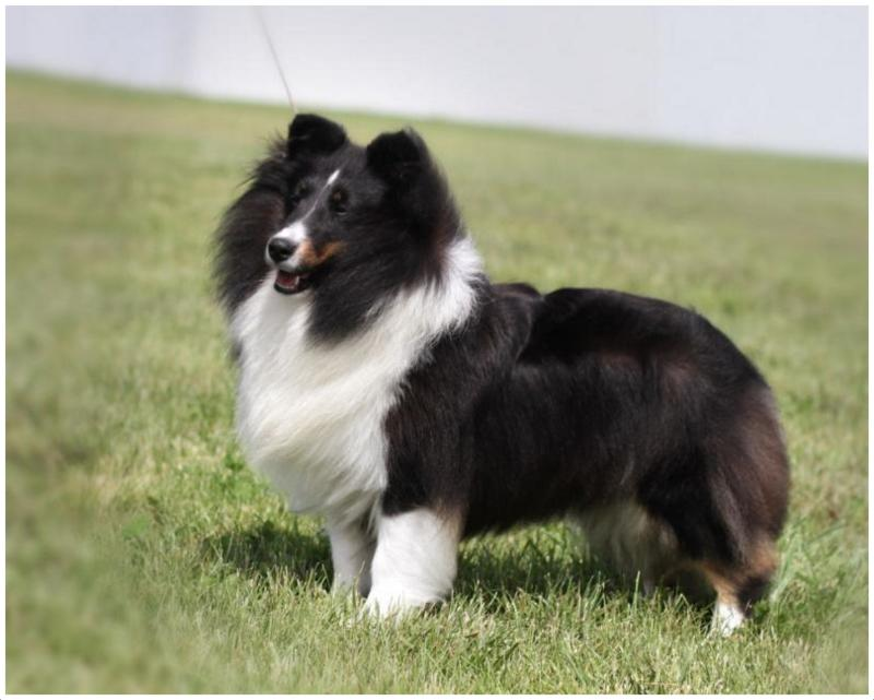 Shetland Sheepdog - Facts, Pictures, Puppies, Rescue ...