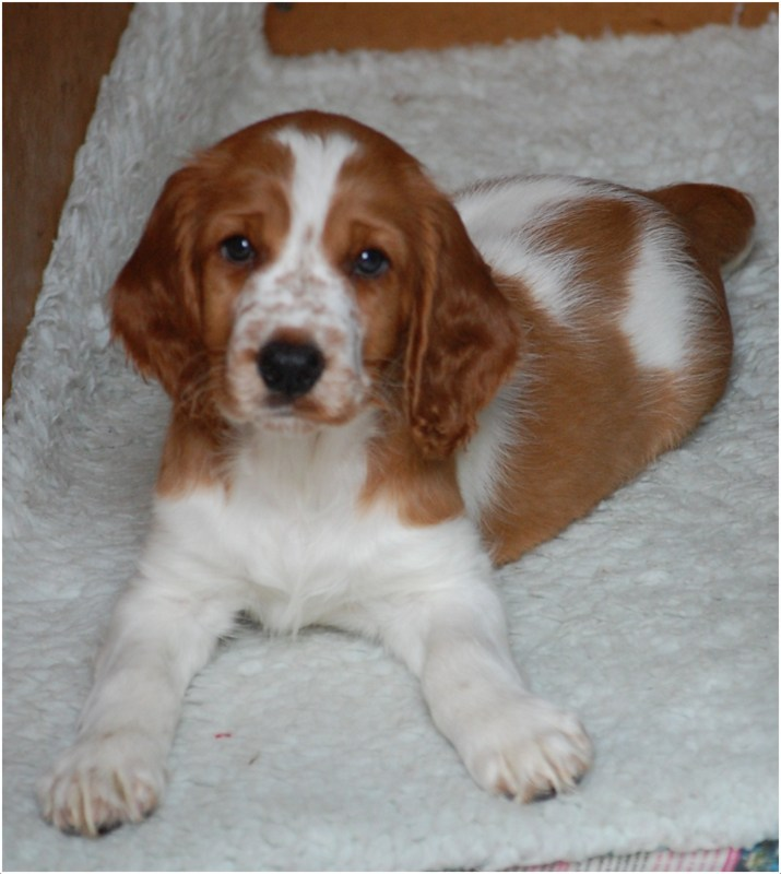 Welsh Springer Spaniel - Puppies, Rescue, Pictures ... Welsh Springer Spaniel Adoption