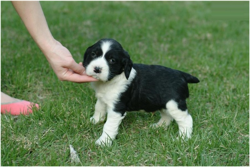 English Springer Spaniel Puppies Rescue Pictures