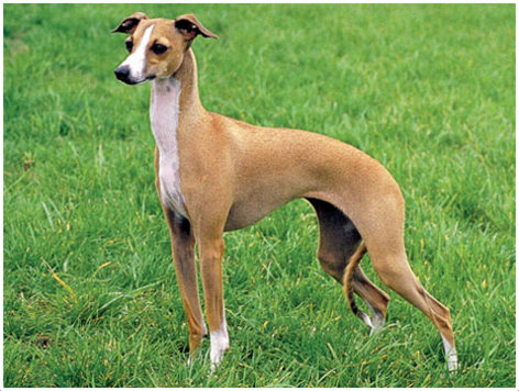 Whippet Puppies Pictures Facts Rescue Temperament