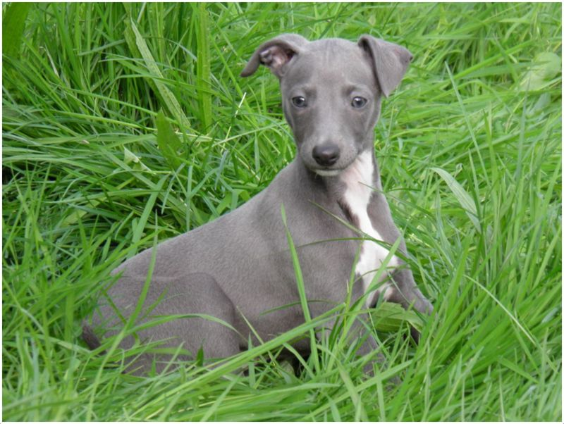 Whippet - Puppies, Pic...