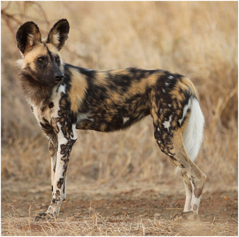 What Does A African Wild Dog Look Like