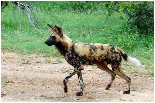 African Wild Dog Facts Pictures Rescue Life Span