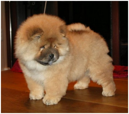 Chow Chow - Breeders, Facts, Pictures, Puppies, Rescue ...