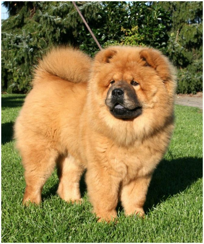 Chow Chow - Breeders, Facts, Pictures, Puppies, Rescue, Temperament ...