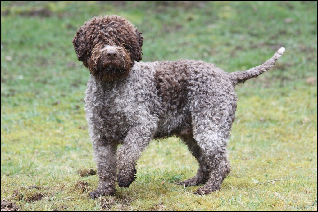 Lagotto Romagnolo Pictures Rescue Puppies Breeders