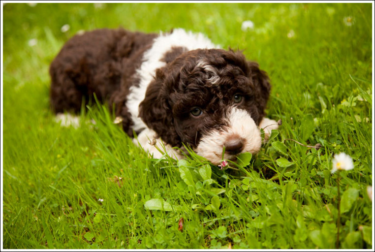 Are Lagotto Romangolo Good With Other Dogs