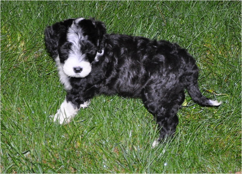 Brown Portuguese Water Dog Puppies