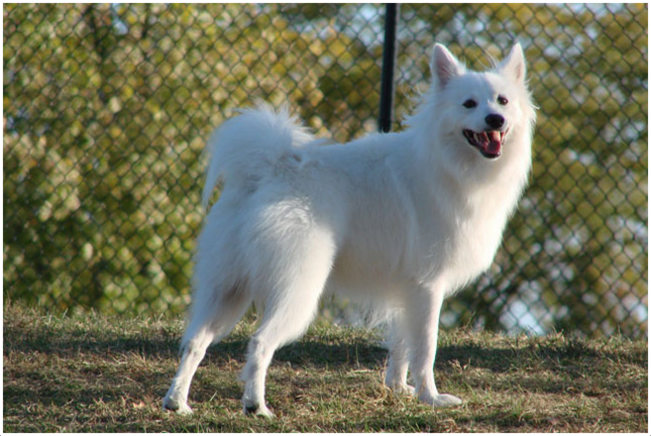 American Eskimo Dog  Breeders, Facts, Pictures, Puppies, Rescue, Temperament  Animals Breeds