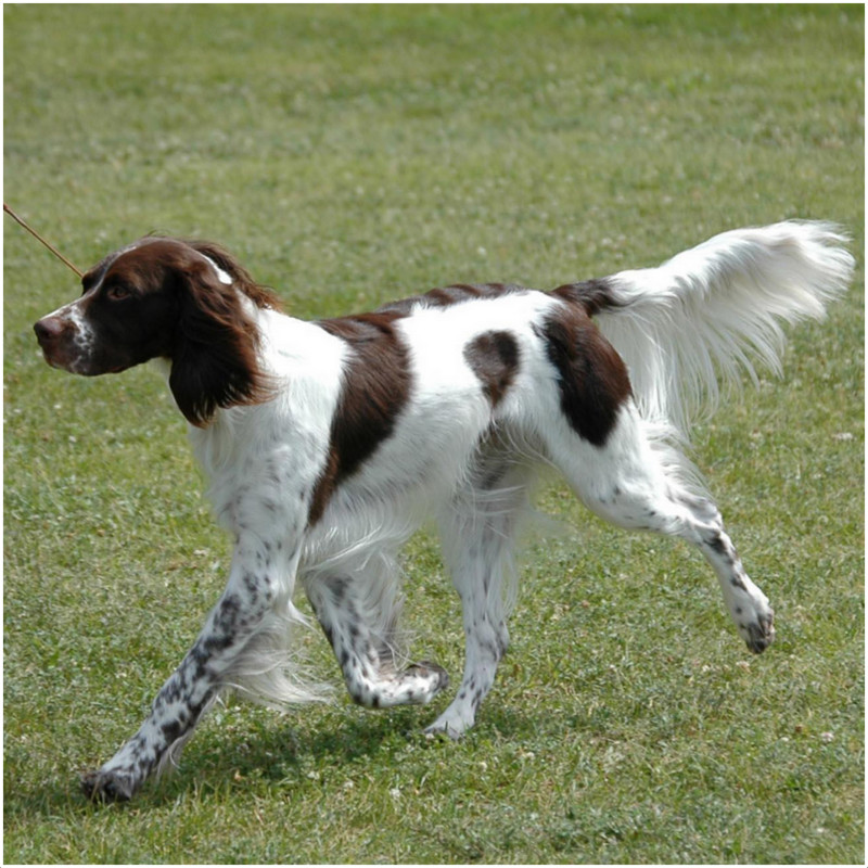 French Spaniel Breeders Facts Pictures Puppies Rescue Temperament Animals Breeds