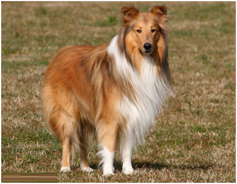 rough collie dog breed puppies dog breeds picture