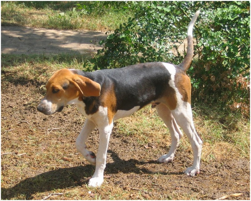 Treeing Walker Coonhound - Facts, Pictures, Puppies, Rescue ...