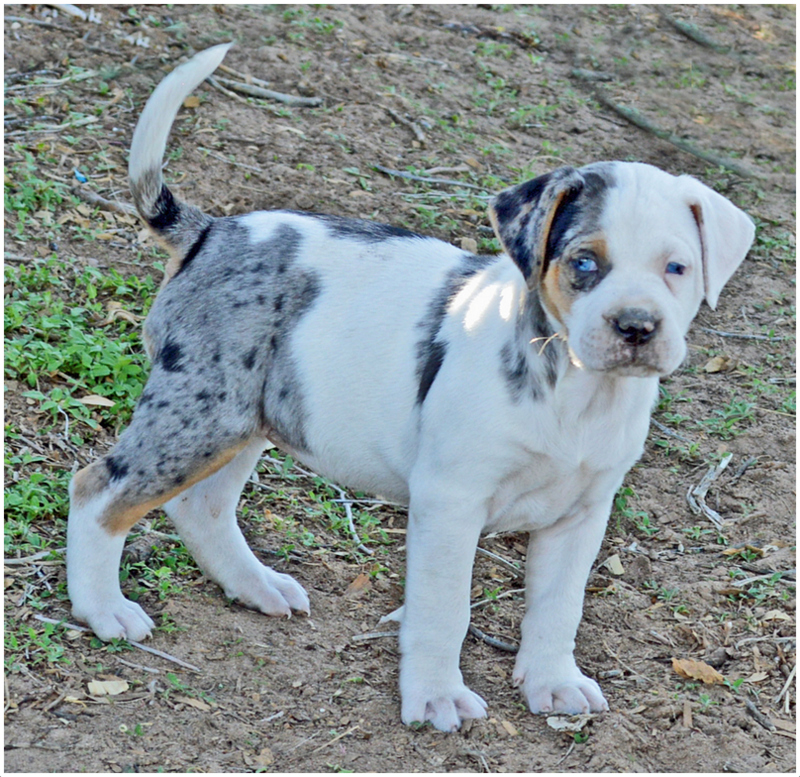 Catahoula Bulldog - Breeders, Puppies, Pictures, Facts ...
