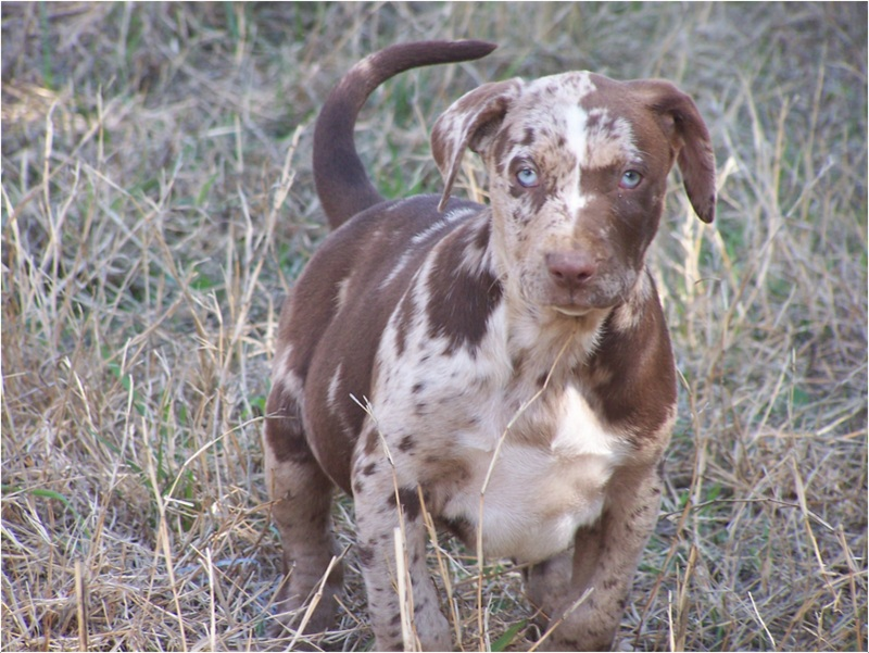 Catahoula Bulldog - Breeders, Puppies, Pictures, Facts, lifespan ...