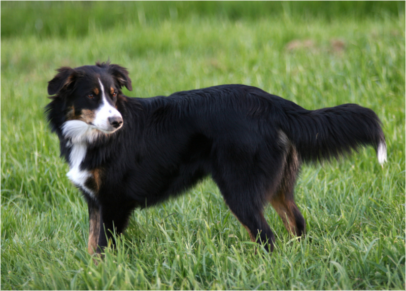 English Shepherd Puppies Facts Pictures Breeders