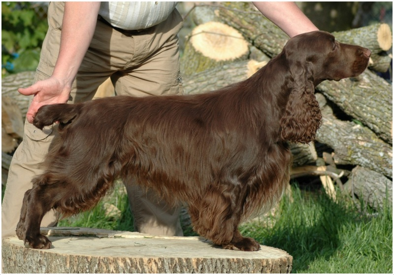 Grooming A Field Spaniel Field Spaniel - Facts ...