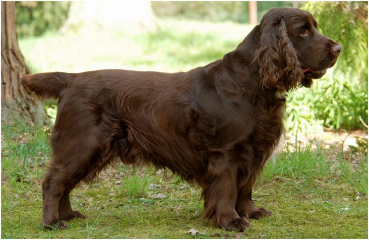 Grooming A Field Spaniel 1000+ images about Х ...