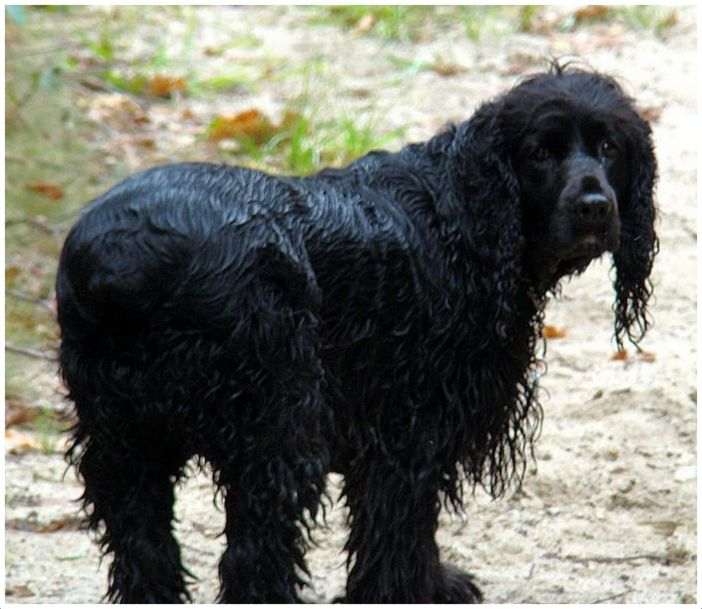 Field Spaniel - Facts For Kids, Pictures, Breeders ...