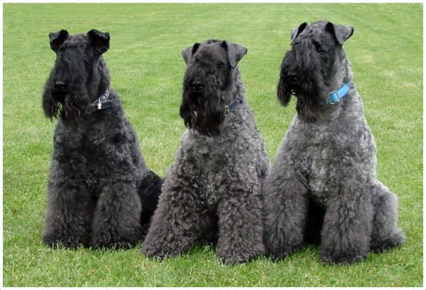 Kerry Blue Terrier - F...