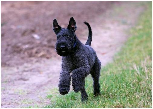 Kerry Blue Terrier Facts Pictures Puppies Breeders