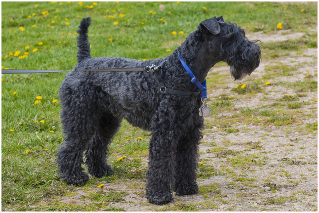 Kerry Blue Terrier Puppies | Dog Breeds Picture