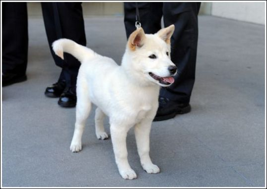 Korean Jindo Facts Pictures Puppies Personality