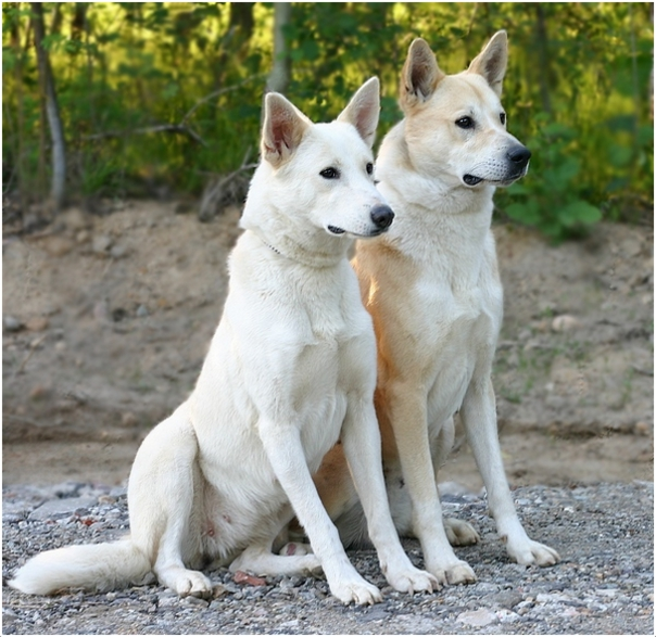 Canaan Dog Puppies Price