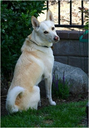 Canaan Dog Food