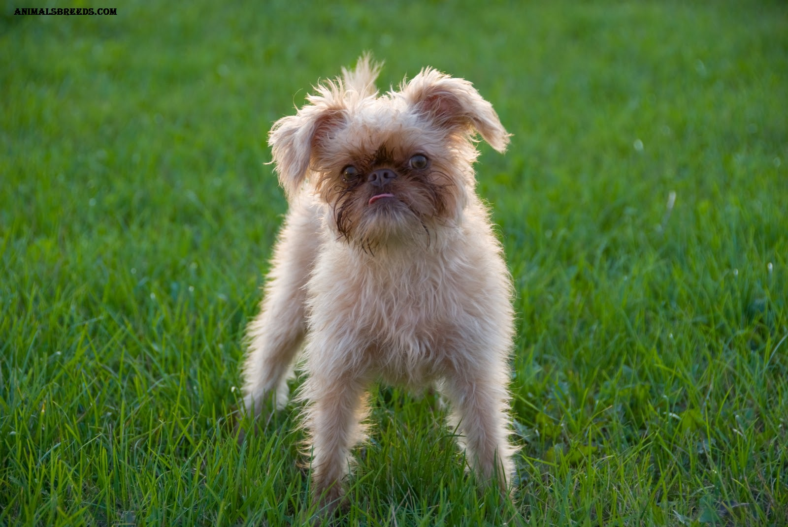 Brussels Griffon Breed Of Dog