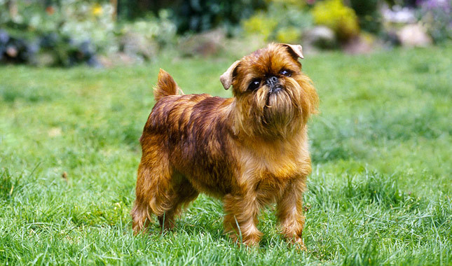 Brussels Griffon Dog Food