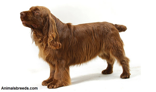 sussex spaniel personality traits