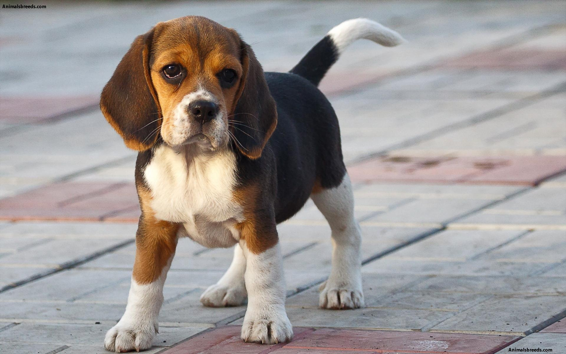 Beagle - Puppies, Rescue, Pictures, Information ... Irish Mastiff Puppies