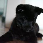 Black Norwegian Elkhound