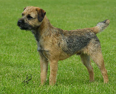 border terrier rescue border terrier pictures information temperament 9453