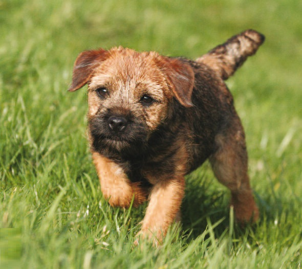border terrier rescue border terrier pictures information temperament 7357