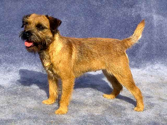border terrier temperament border terrier pictures information temperament 5491