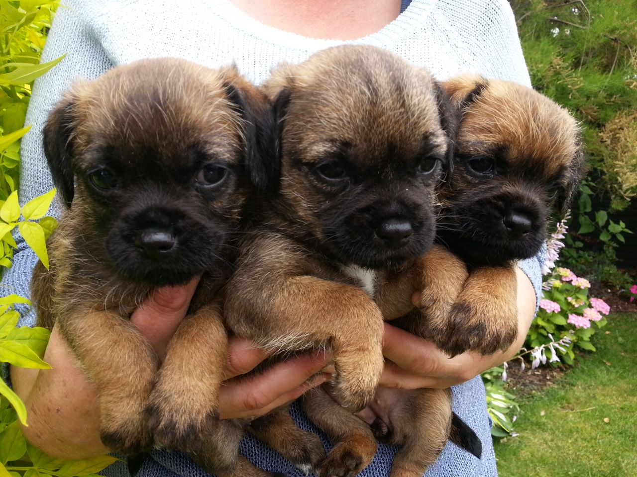 Fence For Dogs >> Border Terrier - Pictures, Information, Temperament, Characteristics, Rescue, Puppies | Animals ...