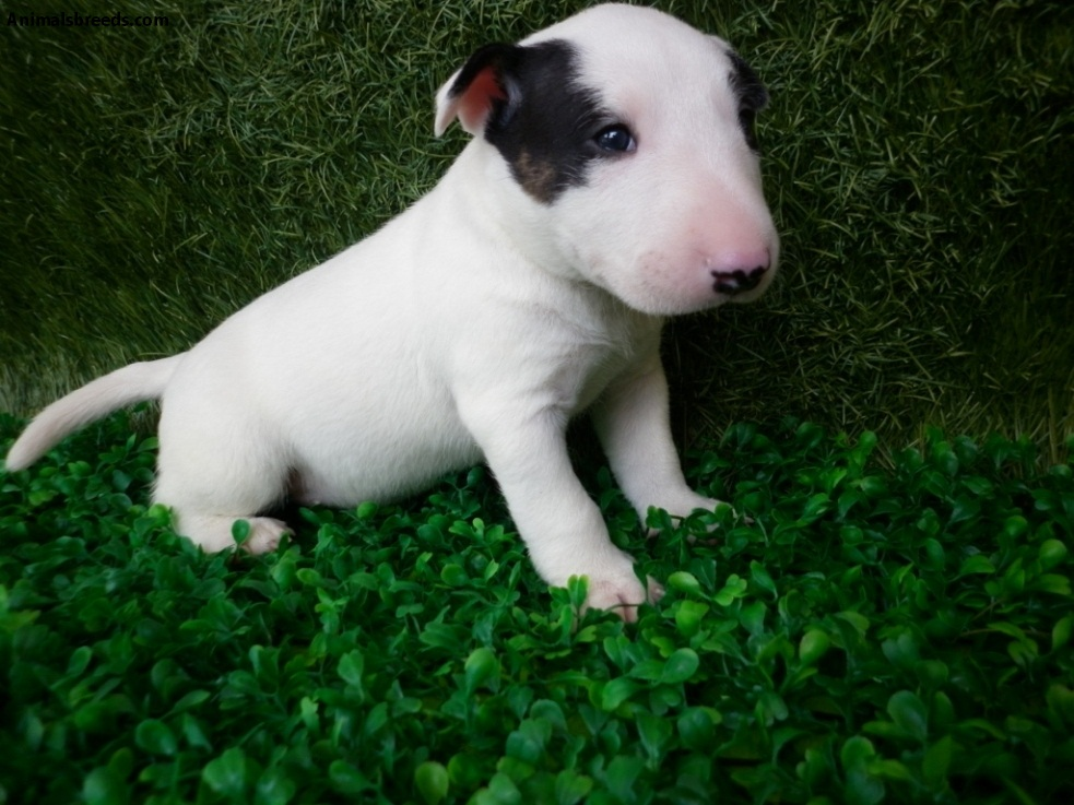 bull terrier picture miniature bull terrier pictures information 7527