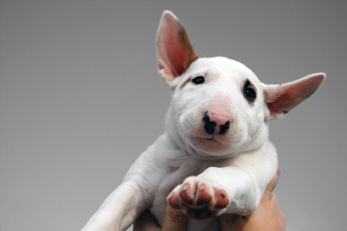 bull terrier pic miniature bull terrier pictures information 7950